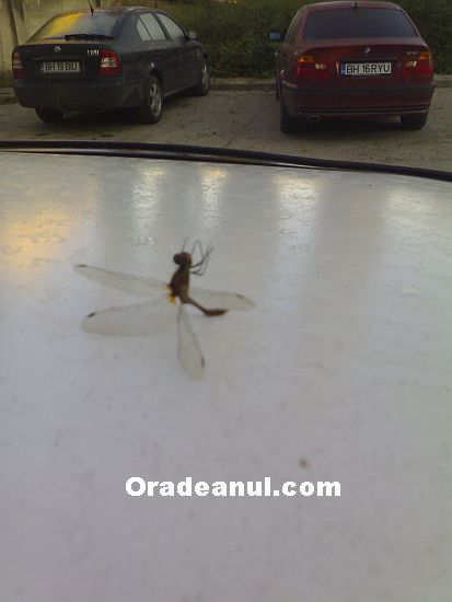 Dragonfly fallen on its back