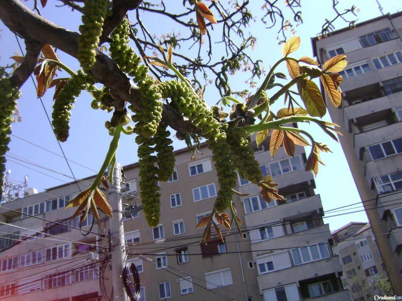 Flori de nuc